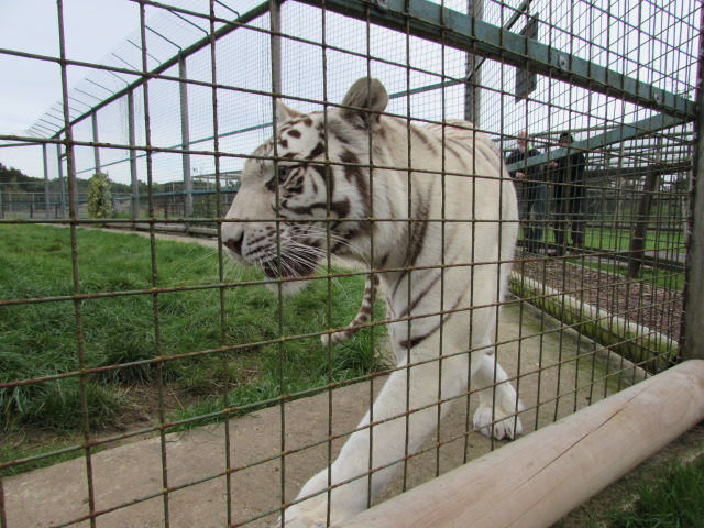 White Tiger at WHF Big Cat Sanctuary