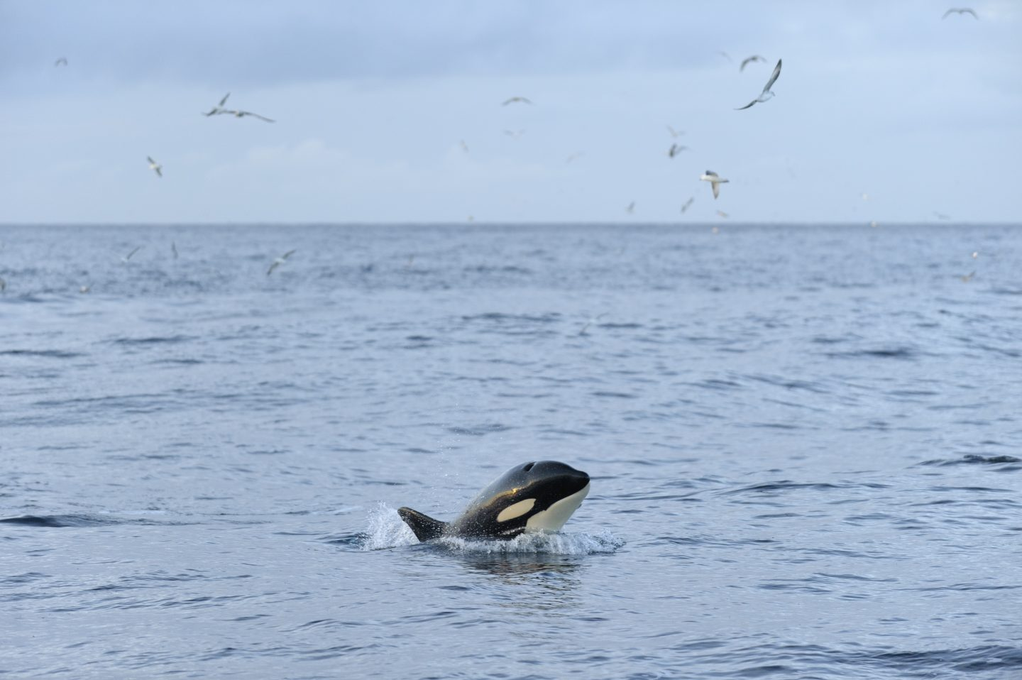Killer whale (Orcinus orca) following Shetland pelagic trawler 'Charisma', near Shetland Isles, Scotland, UK, October 2012.